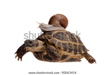 small snail riding on a big turtle isolated on white