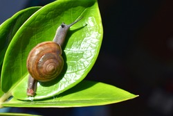 Small snails on green leaves, beautiful nature, dark black background, fragrant snails