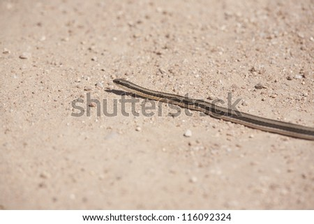 Small snake crossing a dirt road