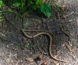 Small Snake with a Large Worm in its Mouth