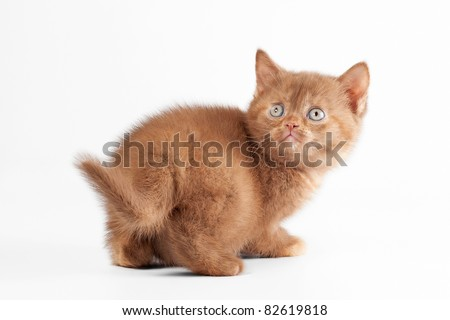 Small sorrel tortie british kitten on  white background - stock photo