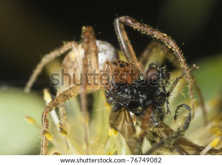 Small spider feeding on caught fly, extreme close up with high magnification