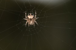 Small spider of the family of Orb-web spiders (Araneidae) on web, isolated on a natural green background.