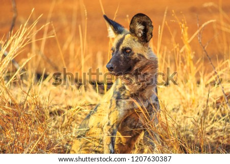 Small spotted hyena species Crocuta crocuta standing watchful in Kruger National Park, South Africa. Iena ridens or hyena maculata in nature grassland habitat. Dry season.