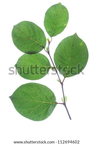 small sprig with leaves of quince (Cydonia oblonga) isolated in front of white background