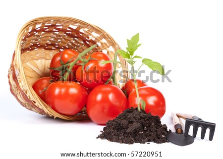 Small sprout, garden tools  and fresh tomatoes in a basket on a white background. Concept of harvest.