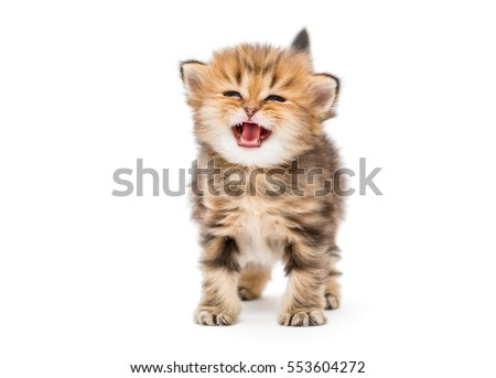 Small striped kitten breed British marble, isolated on white #553604272