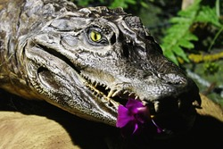 Small stuffed crocodile head of Caiman family in greenhouse with tropical plants with purple orchid flower in jaws