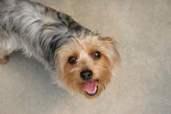 Small sydney silky terrier dog looking up, waiting