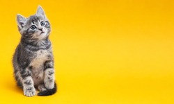 Small tabby kitten on yellow background with copy space. Gray cat isolated on color background with copy space. Kid animal with interested, question facial face expression