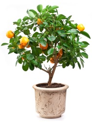 Small tangerines tree in a flower pot isolated on white background.