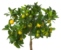 Small tangerines tree on white background