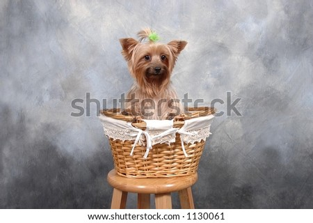 Small Terrier in Basket