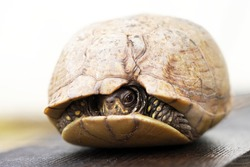 Small three toed box turtle with shell damage in the front of her carapace is tucked into her shell and shyly looking at the camera
