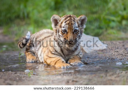 Small tiger cub lying in water #229138666