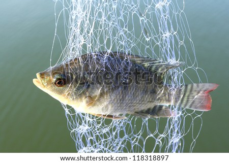 Small tilapia fish trapped in trawl