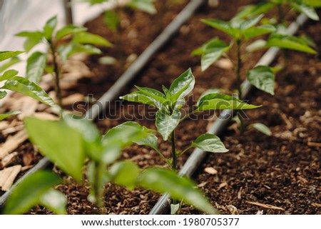 Small tomato plants inside the greenhouse with drip irrigation system on the organic garden closeup. Foto stock ©