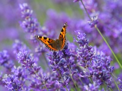 Small tortoiseshell butterfly (Aglais urticae) on lavender