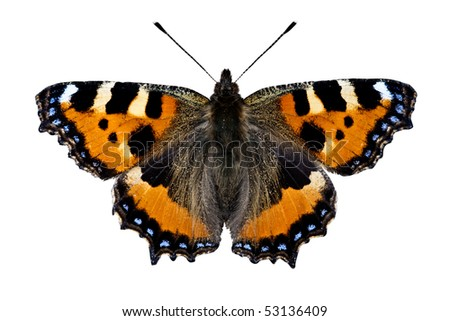 Small Tortoiseshell Butterfly on white