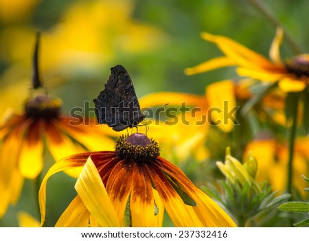 Small tortoiseshell butterfly pollinating a flower of the yellow cone-flower