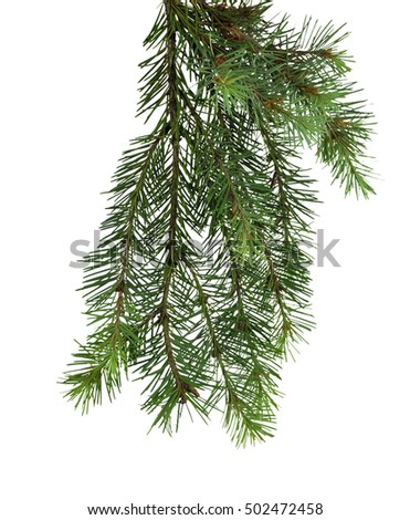 small tree branch, close-up/ isolation on a white background without shadows #502472458
