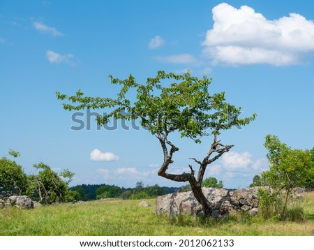 Small tree isolated in cultural grass and rock landscape in summer. Swedish nature shot at Birka, Björkö, Sweden, Scandinavia. Stock fotó ©
