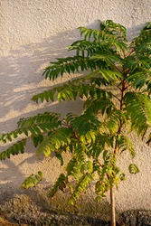 small tree with green leaves on the background of a concrete wall with a shadow