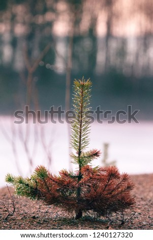 Small trees in fog and dew, pine undergrowth. Early spring in the North