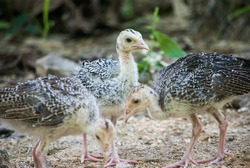 Small turkey birds. Turkey close up photo. Small birds are eating. Three turkey