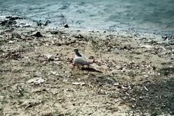Small turtledove on mud Bank. Rajasthan