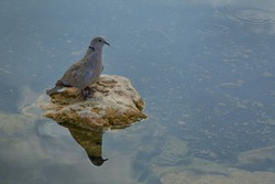 Small turtledove or Egyptian turtledo (Latin Streptopelia senegalensis) - a species of bird from the pigeon family