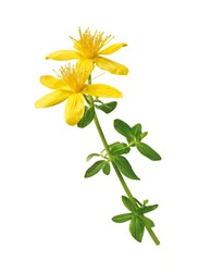 small twig of st. john's wort