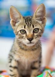 Small, very beautiful, street gray kitten. Greece