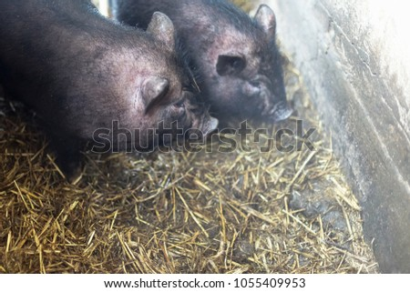 Small Vietnamese pigs on the farm #1055409953