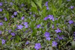 Small violet vinca flowers covering the forest ground. Periwinkle herbaceous plant blooming in spring. Dogbane lush blossom and foliage. Ground cover of tiny wildflowers and leaves