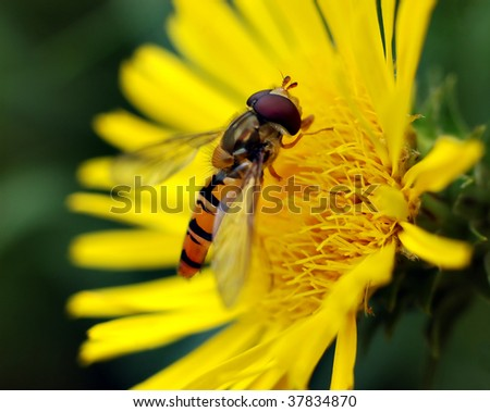Small wasp on yellow flower