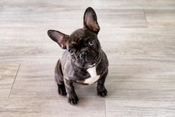 Small white and striped french bulldog puppy