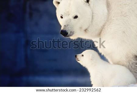 Stock Photo small white bear cub near mother