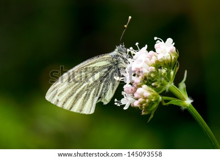 Small white butterfly on a pink flower