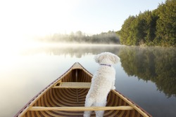 Small White Cockapoo Dog Navigating From the Bow of a Canoe on a Misty Lake - Ontario, Canada