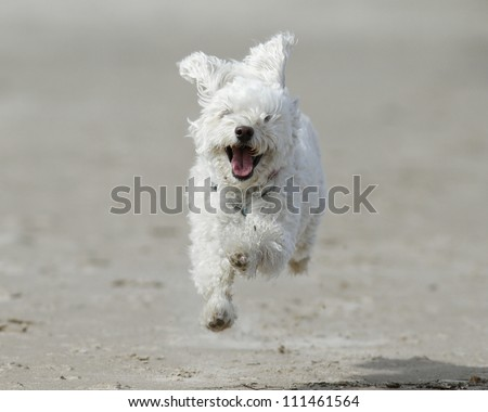 Small White Cockapoo is Airborne as it Runs For Joy on a Sandy Beach - Lake Huron, Ontario