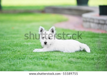 small white dog lies on  green lawn