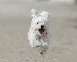 Small White Dog Running on Beach Small White Cockapoo is Airborne as it Runs For Joy on a Sandy Beach - Lake Huron, Ontario