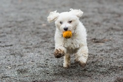 Small white dog running with orange ball in mouth