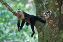 small white faced capuchin monkey relaxed on the tree branch rainforest Manuel Antonio national park