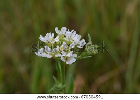 Small White Flowers And Buds Against The Grass Background In The