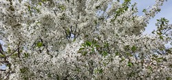 Small, white flowers densely covering plum tree branches with fresh, green leaves. Plum tree blossom. White flowering plum tree in spring.