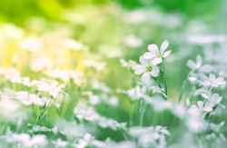 Small white flowers in a field on a beautiful background. Soft focus.