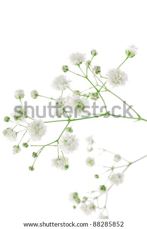 small white flowers isolated on white