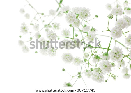 small white flowers isolated on white . shallow dof